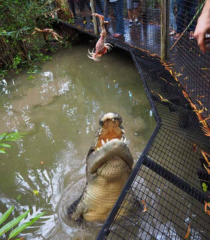 TTNQ-Hartleys-Crocodile-Adventures-Crocodile-Feeding