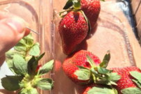 strawberry needle recall