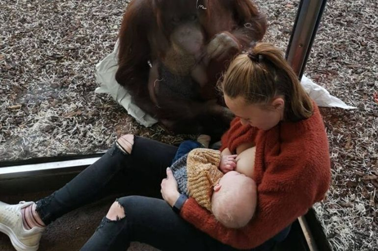 orangutan helps mum breastfeed